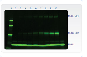 Imaging Fluorescent proteins in-gel for a gel-shift assay